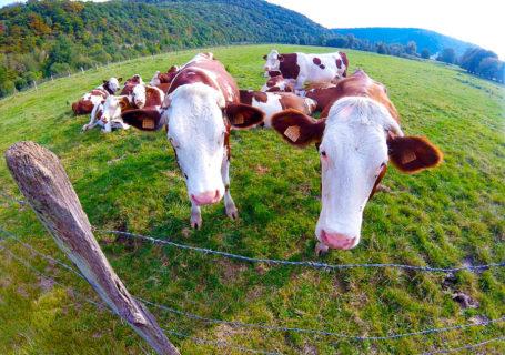 Les vaches en Franche-Comté