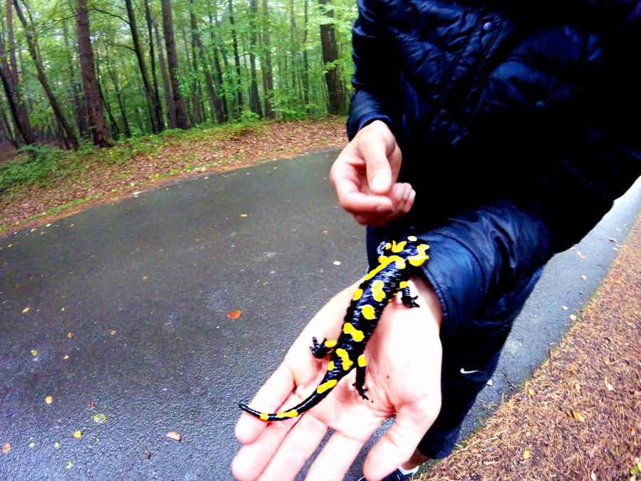 Salamandre en autriche