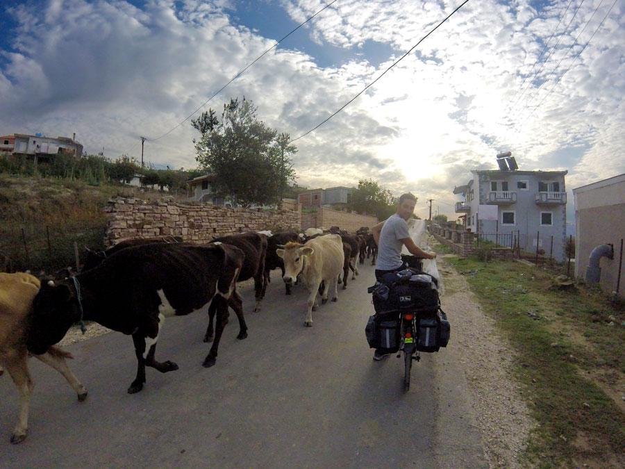 Troupeau de vaches sur la route en Albanie