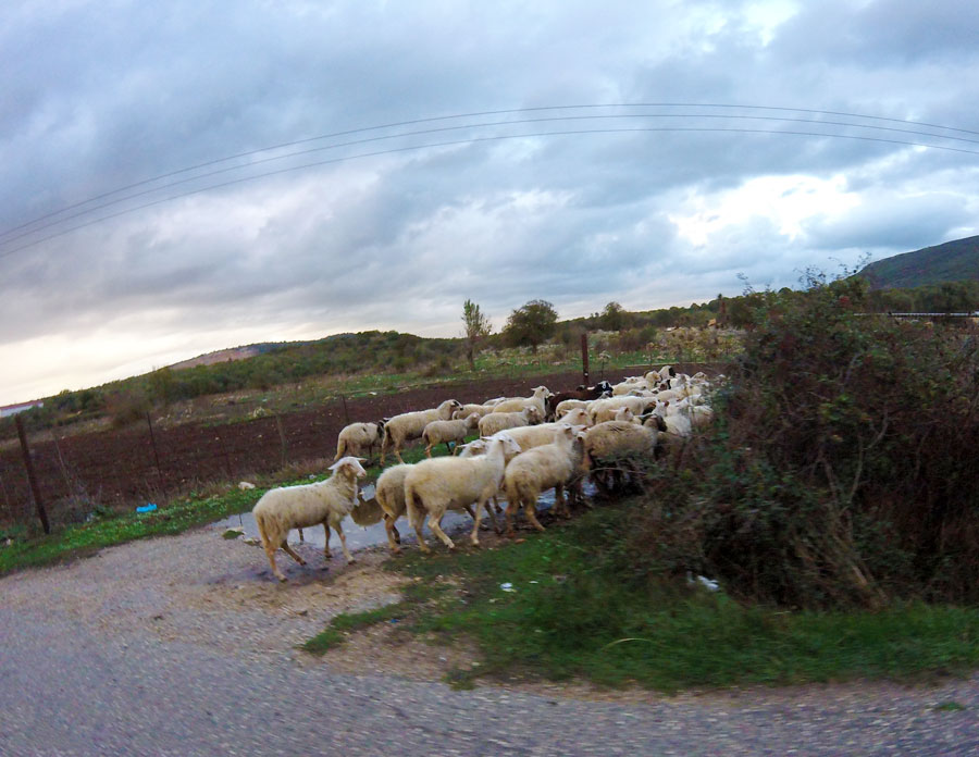 Brebis sur le bord de la route en Grèce
