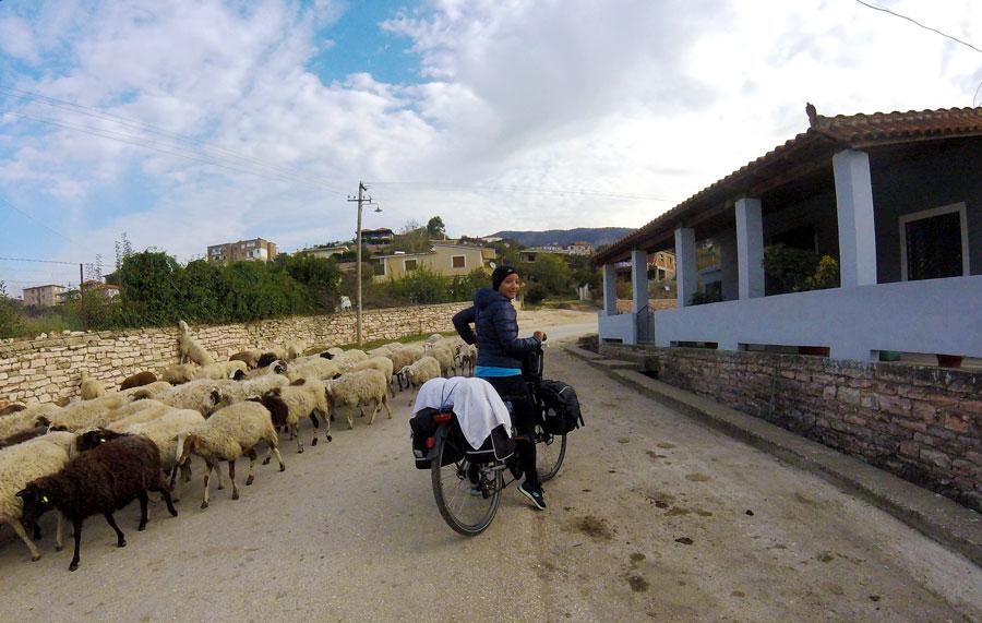 troupeau de brebis en Albanie