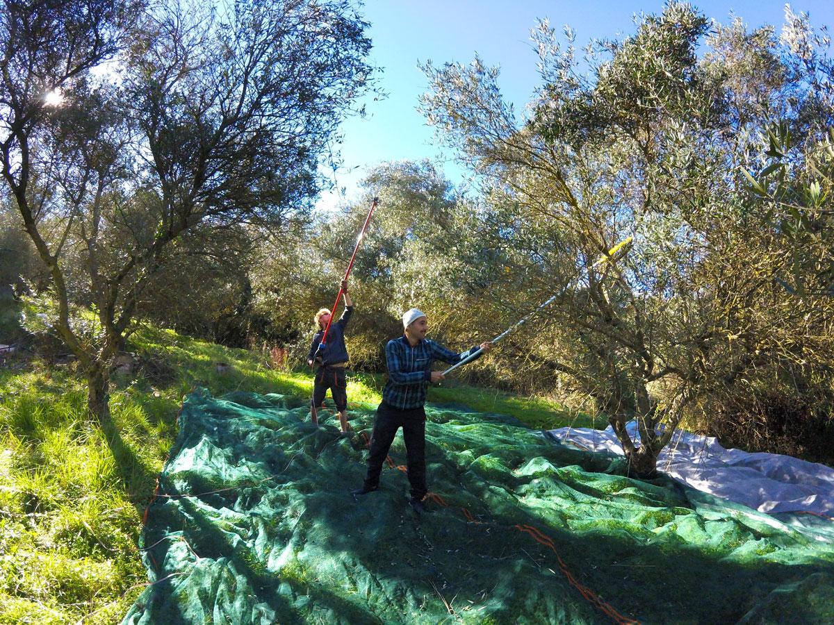 Récolte des olives à eco-retreat, Crète