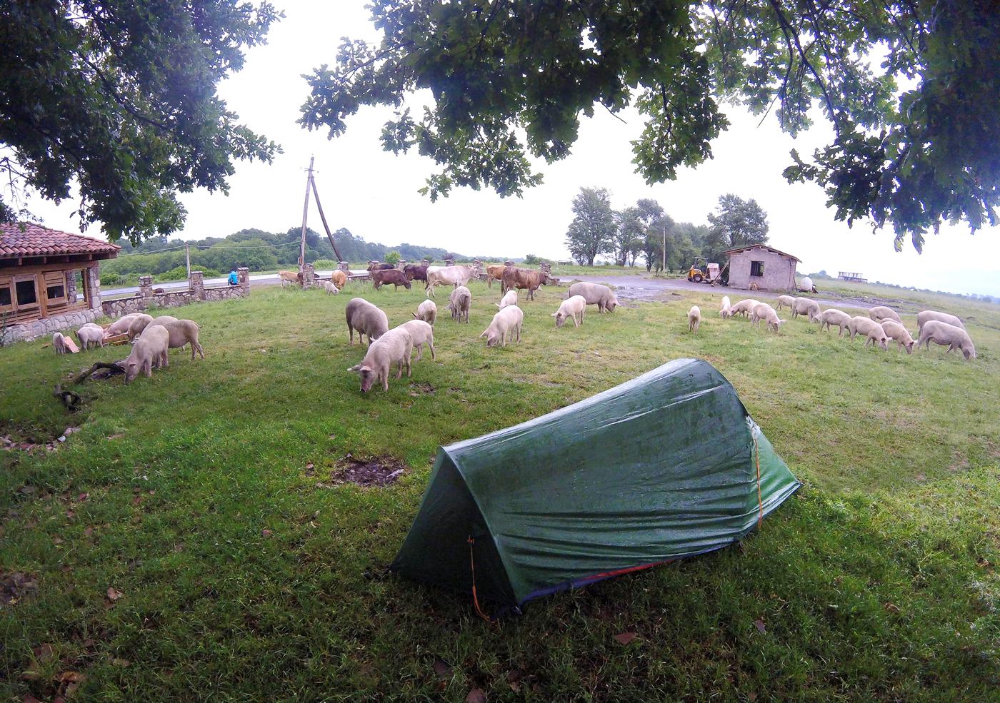 Voyage à vélo, la Géorgie à vélo, bivouac entouré d'un troupeau de porcs à Kvemo Alvani. Travel by bike, cycling Georgia, bivouac surrounded by pigs in Kvemo Alvani.